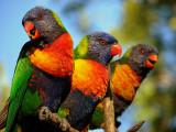 Rainbow Lorikeets, Queensland