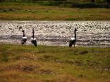 Maggpie Geese, Northren Australia