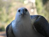 White Bellied Sea Eagle, Queensland