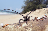 Beach beetle