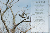 Hawk Owl Poem