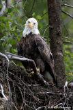Bald Eagle pb.jpg