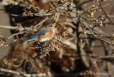 Female Eastern Bluebird pb.jpg