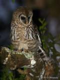 Imm Barred Owl pb.jpg