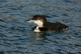 Common Loon 2 pb.jpg
