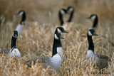 Canada geese pb.jpg