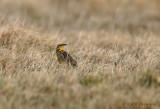 Eastern Meadowlark 2 pb.jpg