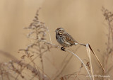 Song Sparrow pb.jpg
