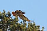 Red tail hawk 2 pb.jpg