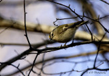 This is my wife's first Kinglet shot. They are tough birds to photograph.