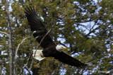Eagle in flight pb.jpg