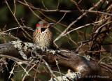 Northern Flicker pb.jpg