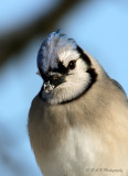 Bluejay with snow pb.jpg