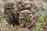 Burrowing Owl Pair pb.jpg
