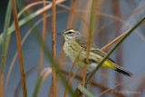 Palm Warbler pb.jpg