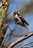 Downy Woodpecker pb.jpg