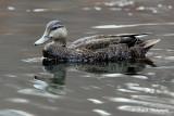 Black Duck pb.jpg