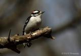 Downy Woodpecker 2 pb.jpg