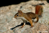 Red Squirrel 2 pb.jpg