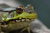 Green Frog 6pb.jpg