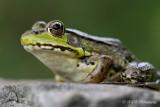 Green Frog 4 pb.jpg