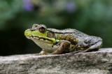 Green Frog 3 pb.jpg