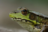 Green Frog 2 pb.jpg