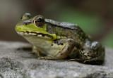 Green Frog 1pb.jpg