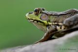 Green Frog pb.jpg
