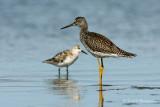 Yellowleg and sanderling pb.jpg