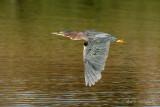 Green Heron pb.jpg