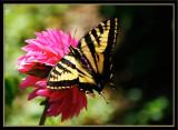 Butterfly Pink Pet-22.jpg