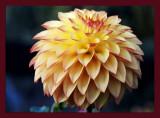 dahlia seedling.jpg