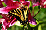 Butterfly lily.jpg