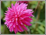 pink pet dahlia.jpg