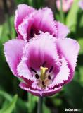 Blue Heron' Tulipa