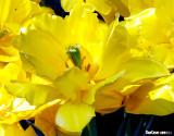 Monte Carlo Tulipa