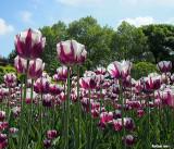Tulips in Karlsplatz (Charles' Square)