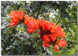 African tulip tree (Bignoniaceae)