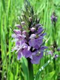 European Marsh Orchid (Dactylorhiza) at Tilt Cove, Newfoundland