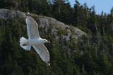 Gulls in Flight 002