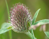 Red Clover 010