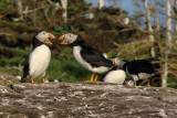 Witless Bay Bird Island Trip 286Squaring off