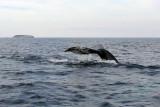 Witless Bay Bird Island Trip 143Finally! A tail shot!