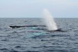 Witless Bay Bird Island Trip 067Thar she blows!
