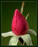 Rosebud 006 Frame