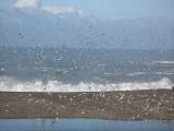 Myriads of gulls