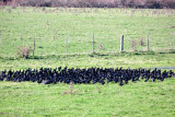 A bizarre large gaggle of coots!