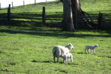 Lambies we saw on the way home