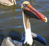 An Old Louisiana Brown Male Pelican